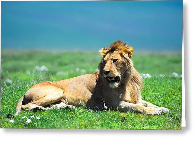 Wildcats Greeting Cards - Lion King Greeting Card by Sebastian Musial