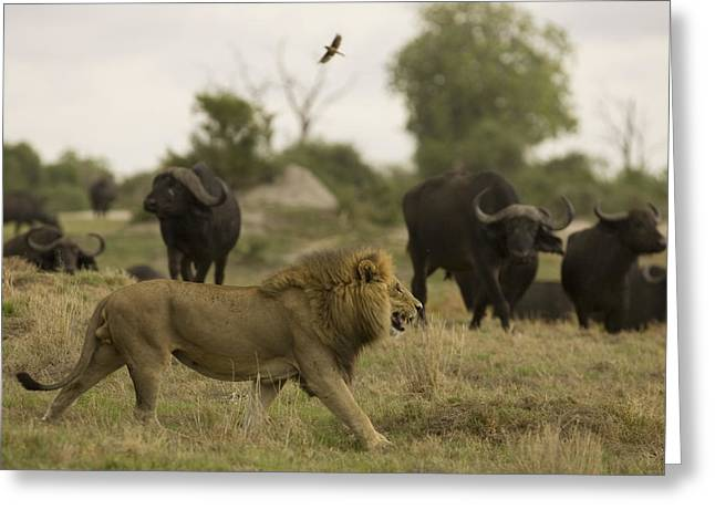 Flying Animal Greeting Cards - Lion Walking Past A Herd Of African Greeting Card by Beverly Joubert