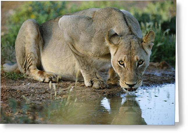 Lioness Greeting Cards - Lioness Drinking Greeting Card by Tony Camacho