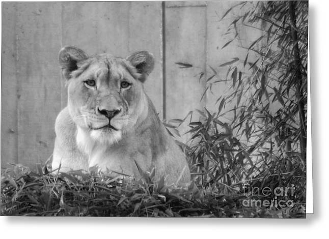 Lioness Greeting Cards - Lioness-i Greeting Card by Amy Varner