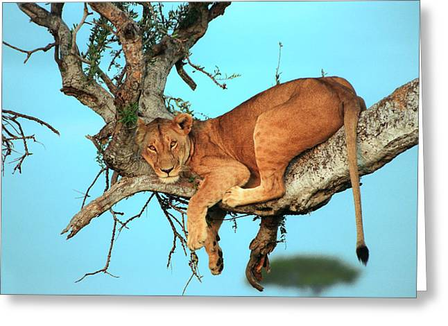 Hunter Greeting Cards - Lioness in Africa Greeting Card by Sebastian Musial