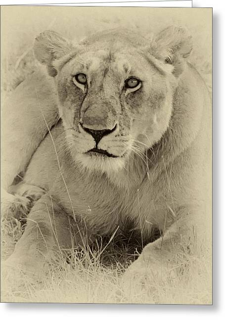Lioness Greeting Cards - Lioness in sepia Greeting Card by Richard Matthews