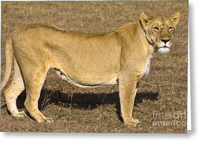 Lioness Greeting Cards - Lioness Inanna Greeting Card by Scotts Scapes