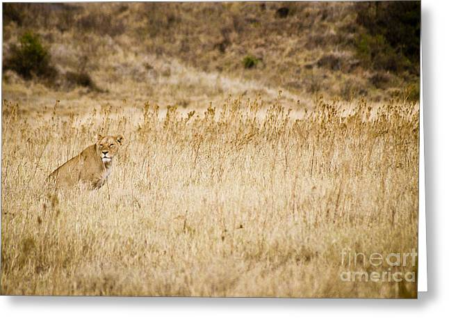 Lioness Greeting Cards - Lioness looking for a meal Greeting Card by Darcy Michaelchuk
