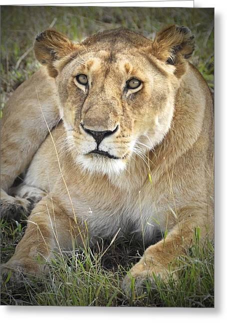 Lioness Greeting Cards - Lioness Greeting Card by Richard Matthews