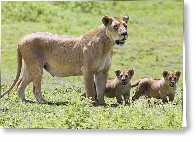 African Heritage Greeting Cards - Lioness With Cubs Greeting Card by Carson Ganci