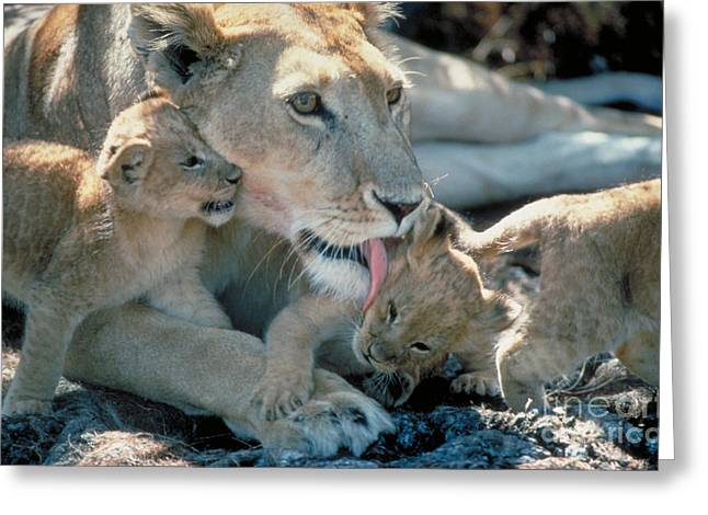 Lioness Greeting Cards - Lioness With Cubs Greeting Card by Gregory G. Dimijian