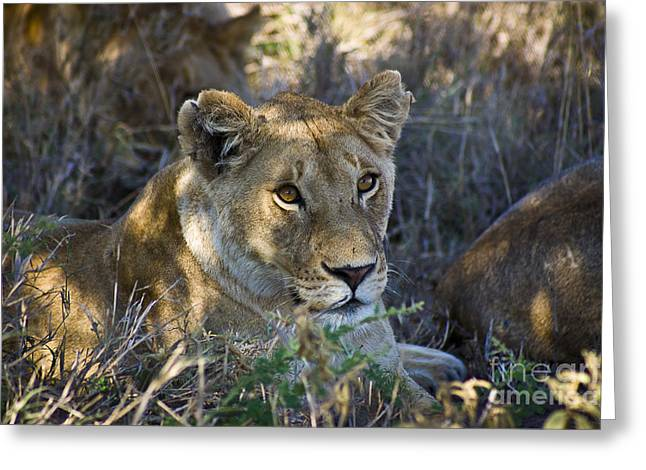 Lioness Greeting Cards - Lioness with Pride in Shade Greeting Card by Darcy Michaelchuk