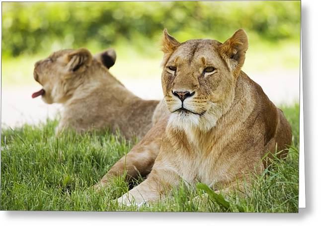 Lioness Greeting Cards - Lionesses Greeting Card by Power And Syred