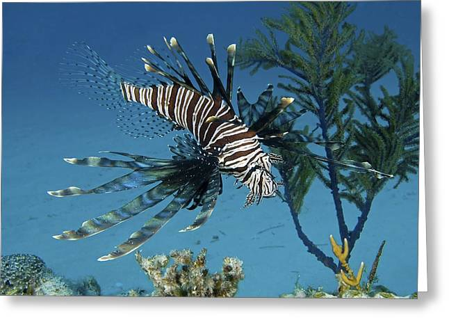 Lionfish Greeting Card by Clay Coleman
