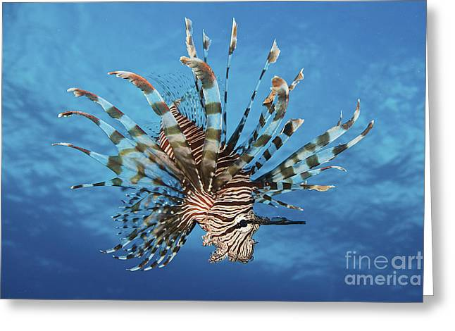 Flaring Greeting Cards - Lionfish Displays Its Poisonous Spines Greeting Card by Terry Moore