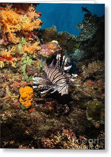 Lionfish Greeting Cards - Lionfish, Fiji Greeting Card by Todd Winner