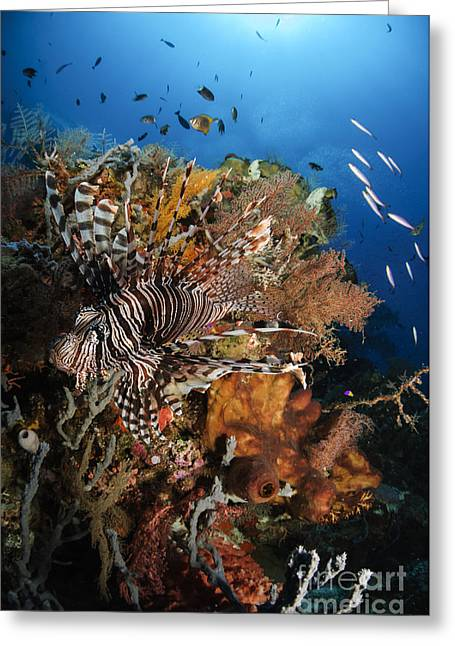 Flaring Greeting Cards - Lionfish, Indonesia Greeting Card by Todd Winner