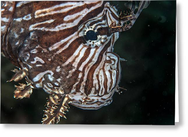 Invasive Species Greeting Cards - Lionfish portrait Greeting Card by Jean Noren