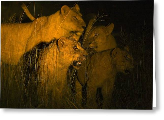 Lions At Night Greeting Card by Carson Ganci