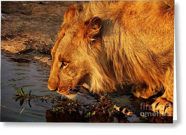 Zimbabwe Photographs Greeting Cards - Lions Pride Greeting Card by Andrew Paranavitana