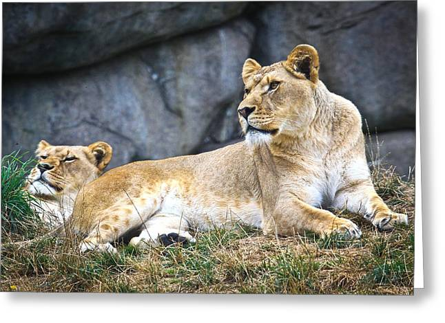 Growling Greeting Cards - Lions Greeting Card by Steve McKinzie