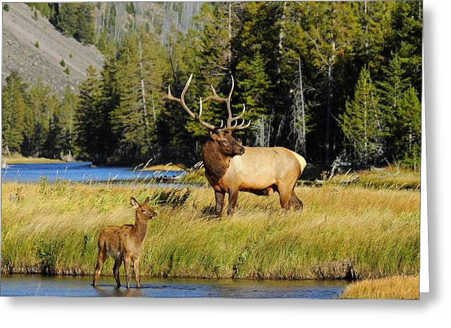 Yellowstone National Park Greeting Cards - Little Big Man Greeting Card by Sandy Sisti