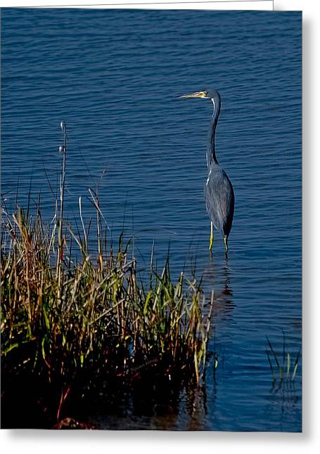 Vicky Browning Greeting Cards - Little Blue Heron Greeting Card by DigiArt Diaries by Vicky B Fuller