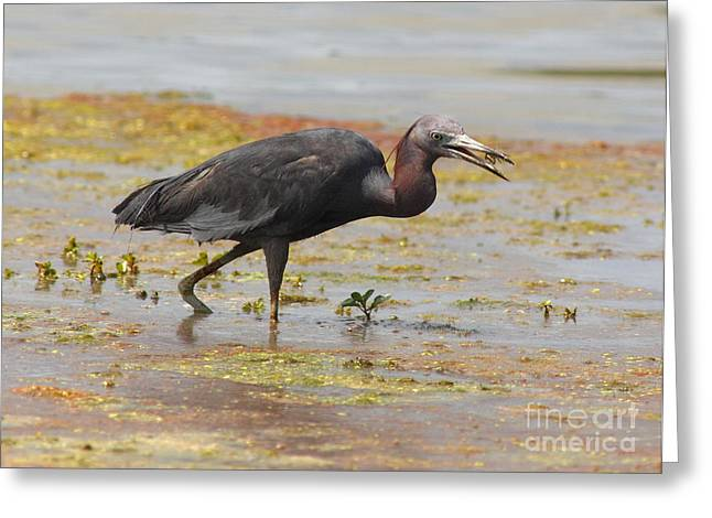 Frederick Greeting Cards - Little Blue Heron In Swamp Greeting Card by Robert Frederick
