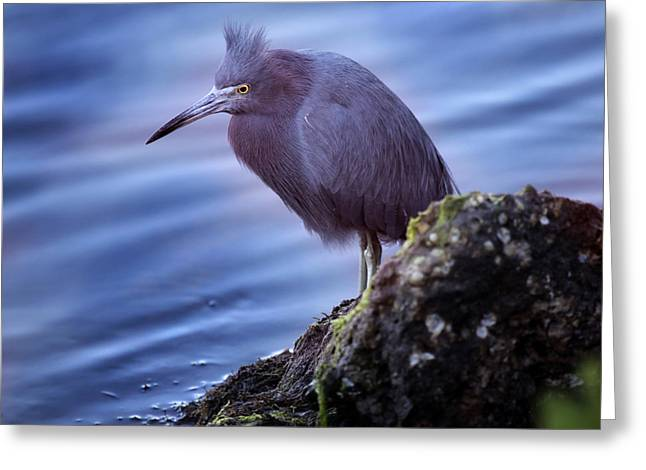Water Fowl Photographs Greeting Cards - Little Blue Greeting Card by Joseph G Holland