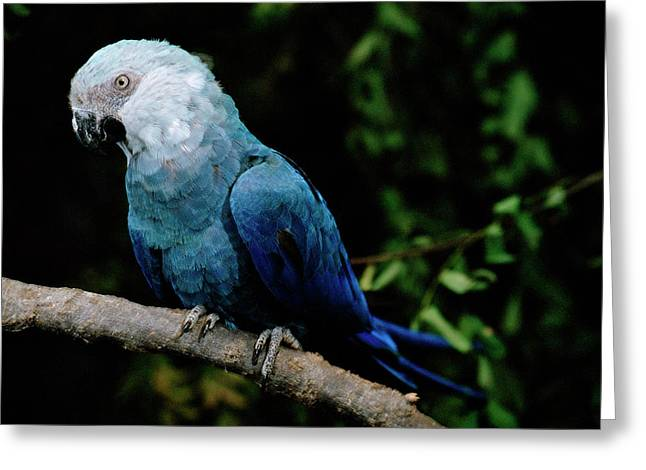 Macaw Profile Greeting Cards - Little Blue Macaw Cyanopsitta Spixii Greeting Card by Claus Meyer