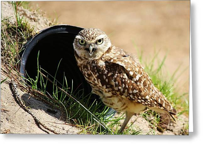 Little Burrowing Owl Greeting Card by Paulette Thomas