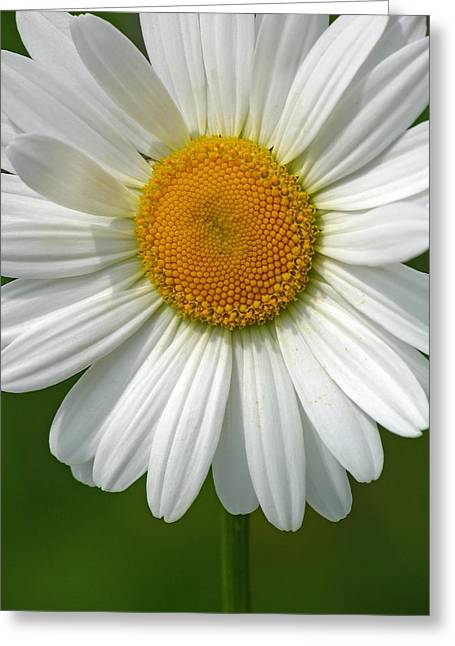 White Daisy Greeting Cards - Little Darling Greeting Card by Juergen Roth