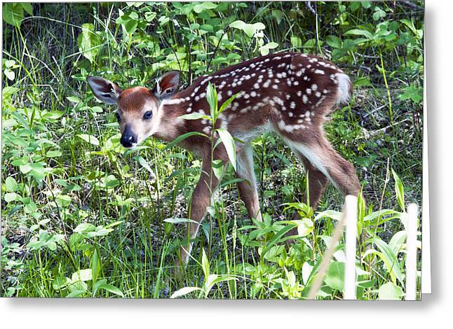 Forest Dweller Greeting Cards - Little Deer Lost Greeting Card by Dick Jones