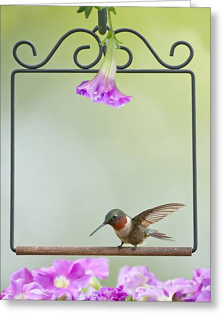 Ruby Throat Greeting Cards - Little Hummer Inspecting the Garden Greeting Card by Bonnie Barry