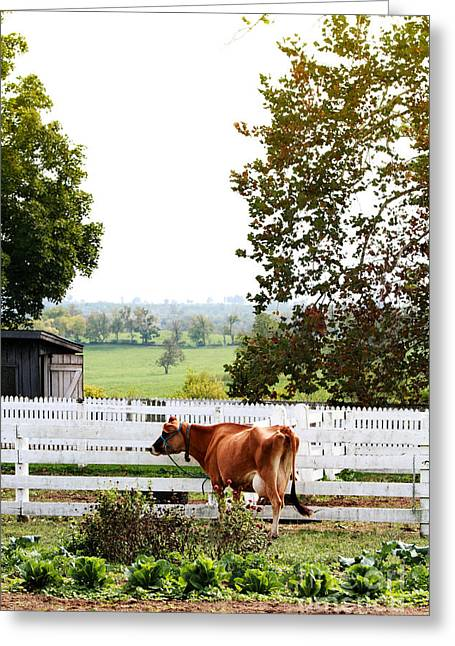 Barn Yard Greeting Cards - Little Jersey Cow Greeting Card by Stephanie Frey