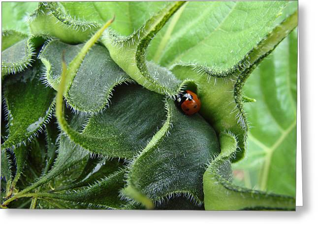 Little Lady Seeks Shelter Within A Green Sunflower Greeting Card by Ronda Broatch