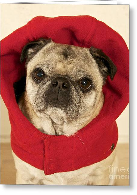 Little Red Riding Pug Greeting Card by Cindy Lee Longhini
