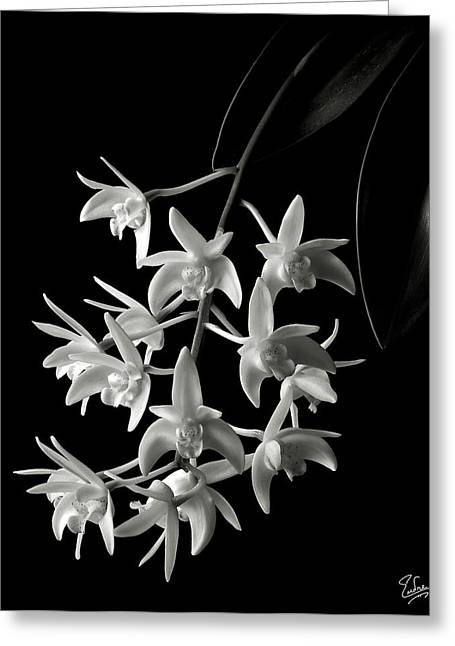 Flower Photos Greeting Cards - Little White Orchids in Black and White Greeting Card by Endre Balogh