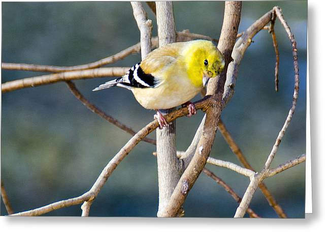 Wild Orchards Greeting Cards - Little Yellow Bird Yellow Finch Greeting Card by LeeAnn McLaneGoetz McLaneGoetzStudioLLCcom