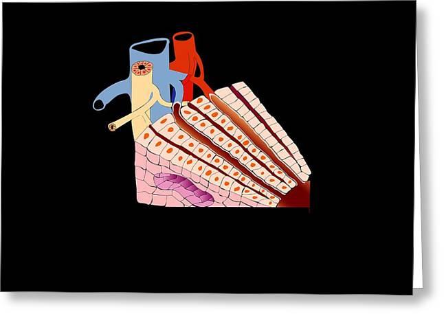 Biology Greeting Cards - Liver Anatomy, Artwork Greeting Card by Francis Leroy, Biocosmos