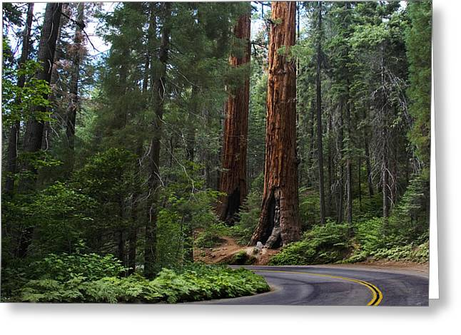 Sequoia National Park Greeting Cards - Living Giants Greeting Card by Anthony Citro