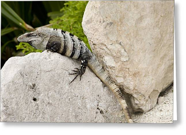 Primitive Greeting Cards - Lizard Greeting Card by Blink Images