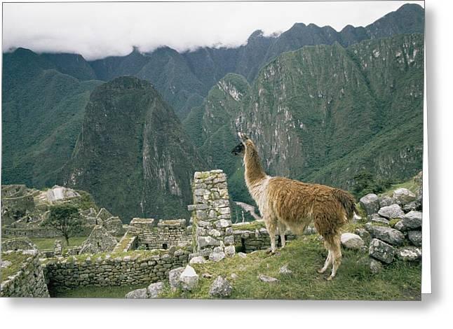 Ruins And Remains Greeting Cards - Llama By Ruins Greeting Card by Mattias Klum