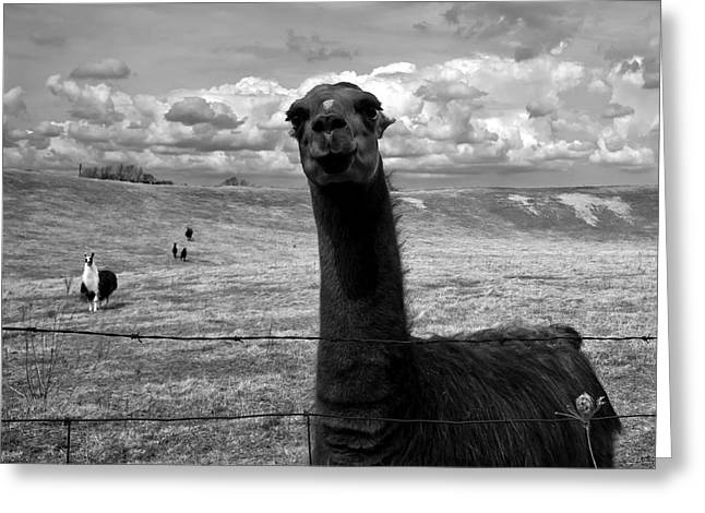 Field. Cloud Greeting Cards - Llama Greeting Card by Cale Best