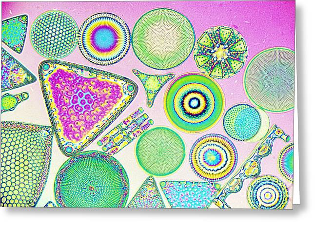 Lm Of Fossilized Diatoms Greeting Card by M. I. Walker