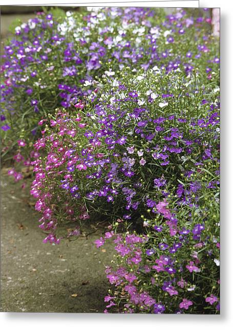 Lobelia Greeting Cards - Lobelia Erinus cascade Mixed Greeting Card by Archie Young