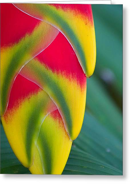 Stephen Mack Greeting Cards - Lobsterclaw Heliconia Greeting Card by Stephen Mack