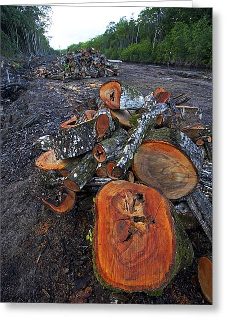 Clear Cut Greeting Cards - Logged Red Mangrove Rhizophora Mangle  Greeting Card by Christian Ziegler