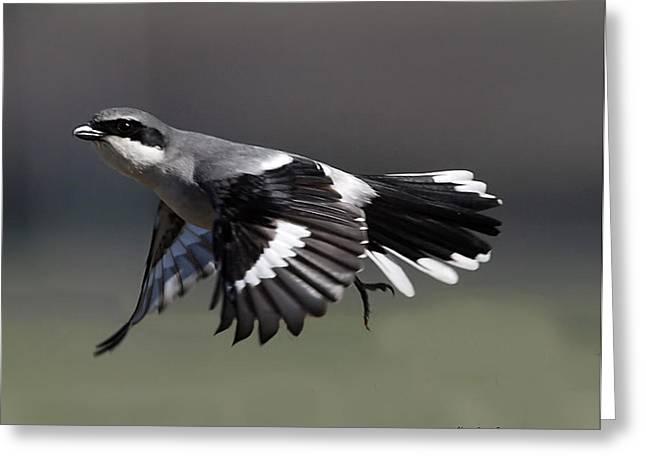Half Moon Bay Greeting Cards - Loggerhead Shrike Flight Greeting Card by Jack Sutton
