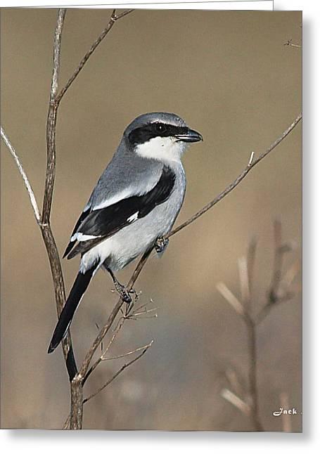 Half Moon Bay Greeting Cards - Loggerhead Shrike Greeting Card by Jack Sutton