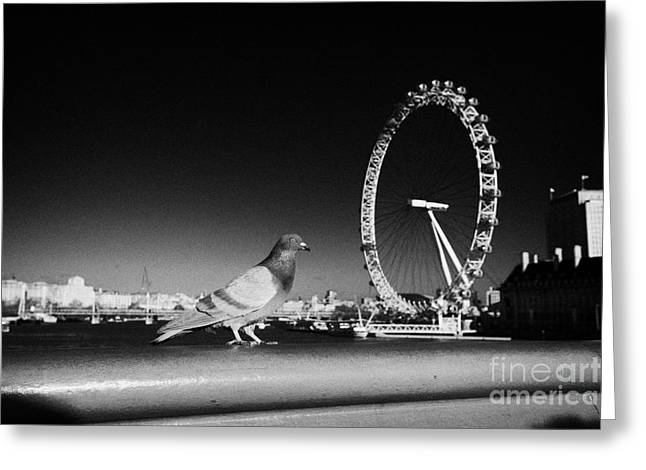 Feral Pigeon Greeting Cards - London pigeon walking across westminster bridge over the river thames with london eye England Greeting Card by Joe Fox