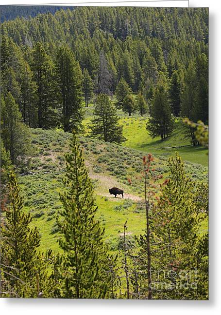 Vale Greeting Cards - Lone Buffalo Greeting Card by Carol Groenen