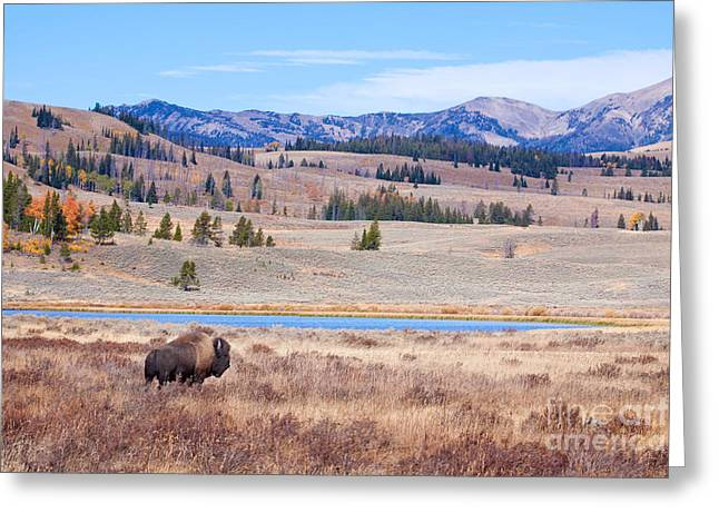 Montana Artist Greeting Cards - Lone Bull Buffalo Greeting Card by Cindy Singleton