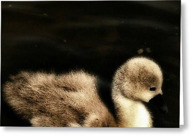 Lone Cygnet Greeting Card by Isabella Abbie Shores